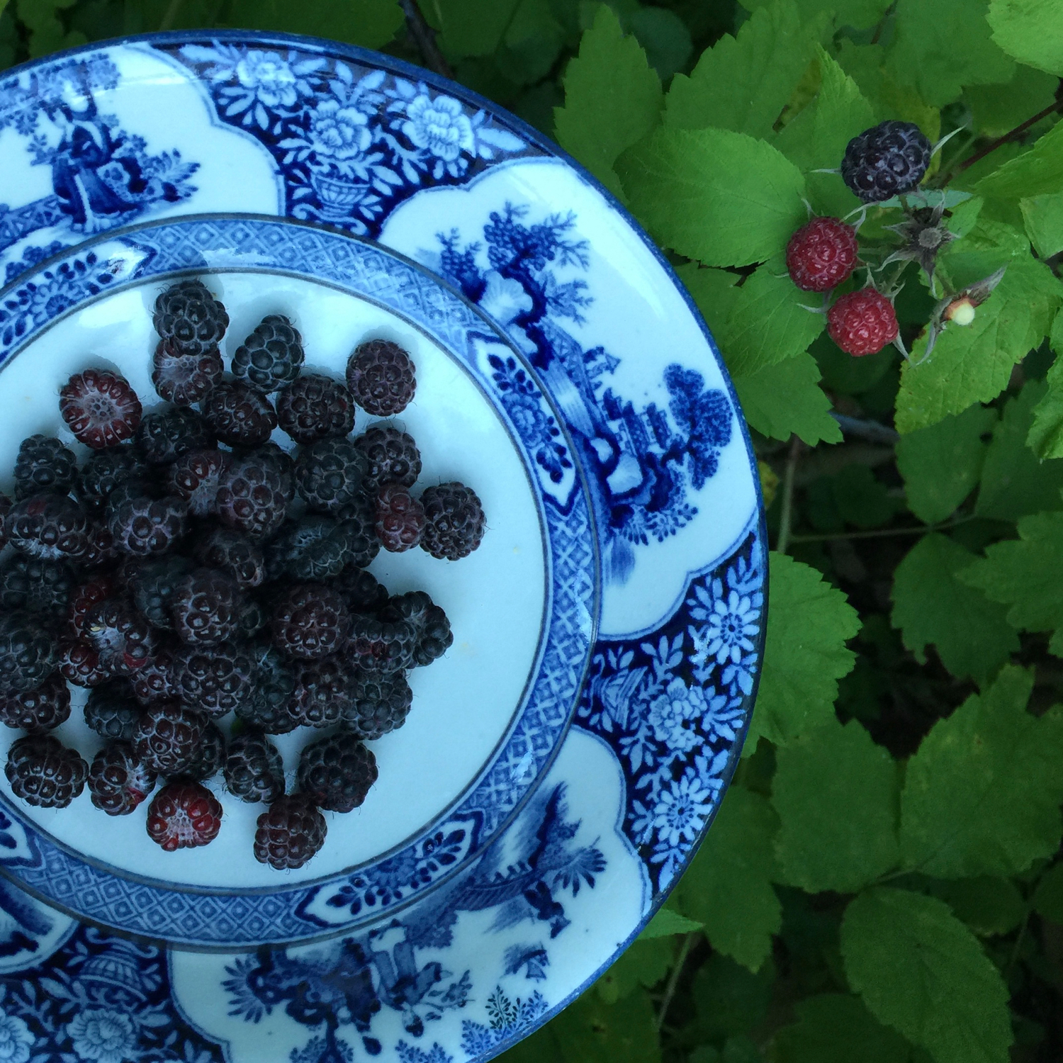 Black raspberries — copyright Trace Meek
