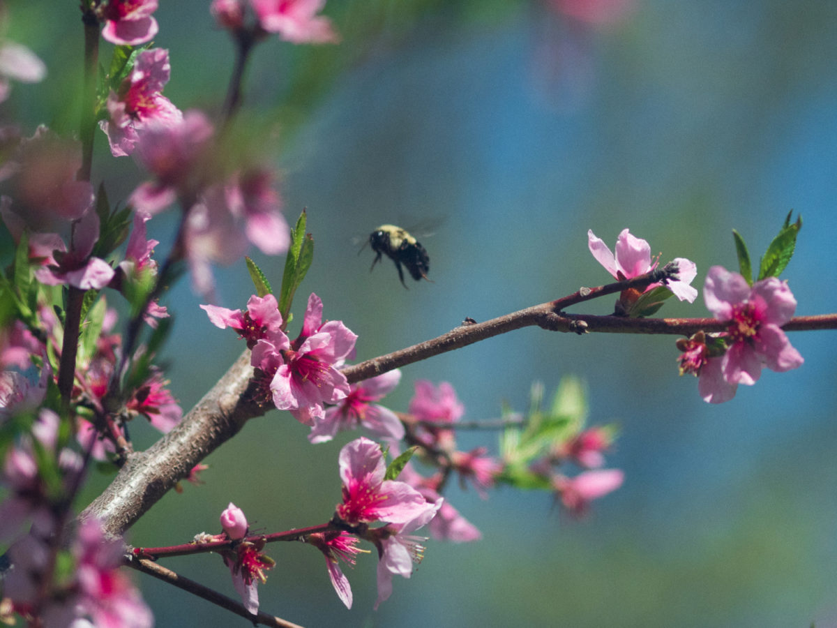 Flowering peach tree and bee