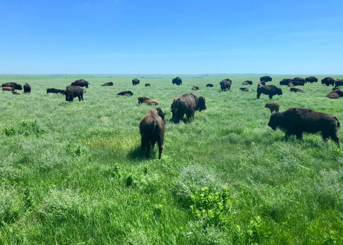 Bison graze on the wild tallgrass prairie